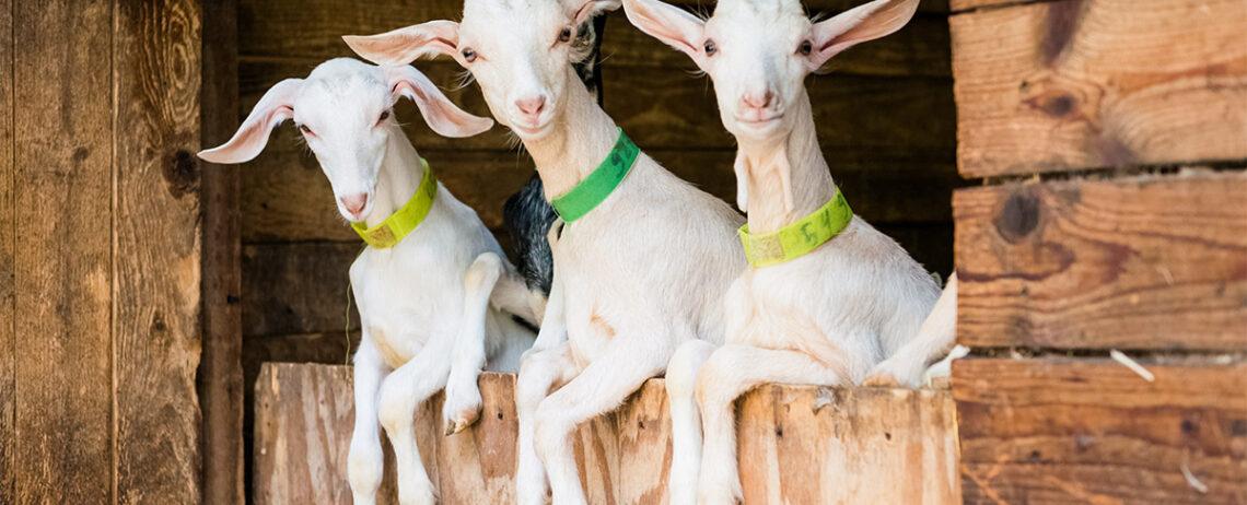 Formaggio di capra e colesterolo: quanto ne contiene?